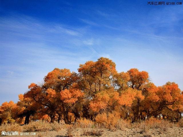"""胡杨树拥有""""千年不死,死后千年不倒,倒了千年不腐""""的名号,而且,秋季的"""